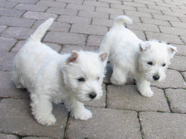 Westie (West Highland White Terrier) R4c226e1